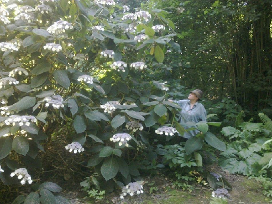 hydrangea aspera 39 bellevue 39 thoby p pini re botanique. Black Bedroom Furniture Sets. Home Design Ideas