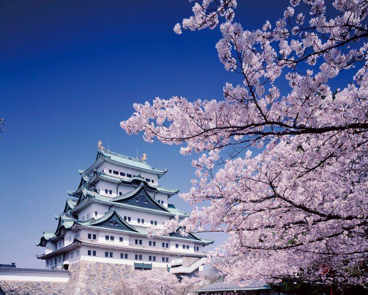 #sakura blossoms in #japan