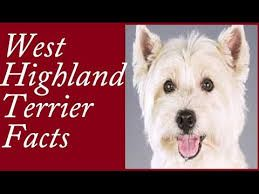 Image result for Highland Terriers