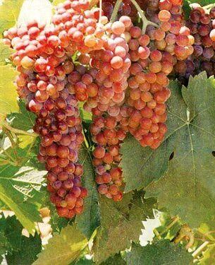 Moscato Grapes   Sweet & Sassy   Muscat wine, Wine vineyards