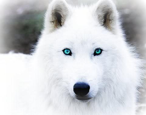 Pictures Of Black Wolves With Blue Eyes Arctic Wolf Wolves