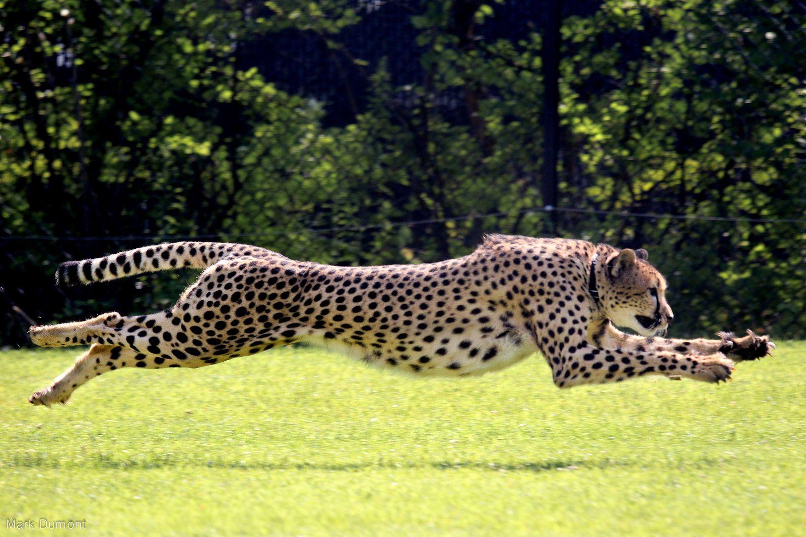 голубом бегущий гепард картинка создать удобный образ