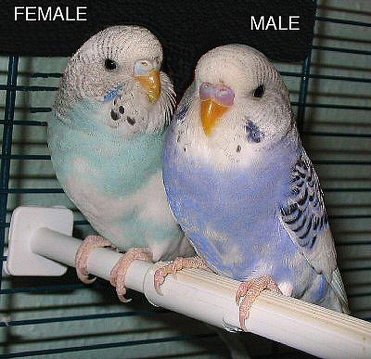How to sex budgies
