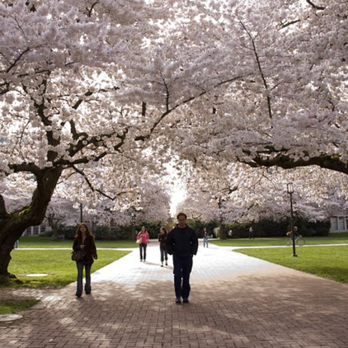 While My Time At Uw Was Not The Best Time In My Life I Do Miss The Cherry Blossoms Cherry Blossom Beautiful Gardens Japanese Garden