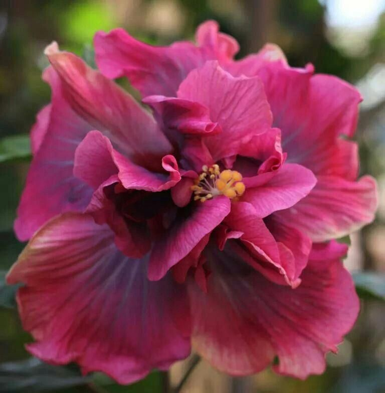 Can Any Hibiscus Flower Be Used For Tea Hibiscus Hibiscus