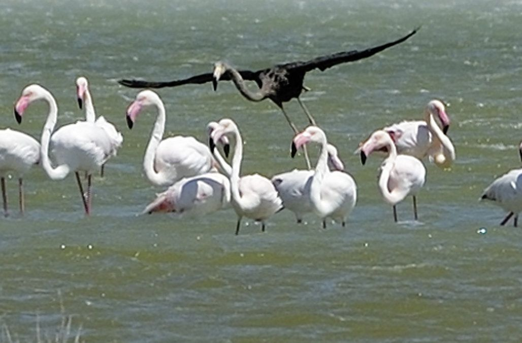 Extremely Rare Black Flamingo Spotted In Cyprus Flamingo Beautiful Birds Melanism
