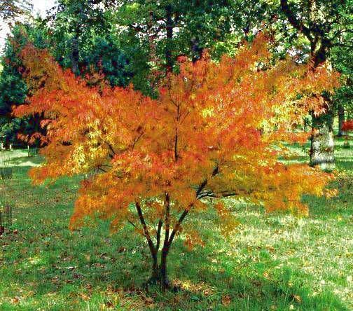 Acer palmatum dissectum seiryu rable du japon 39 seiryu 39 acer pinterest acer palmatum - Erable du japon acer palmatum ...