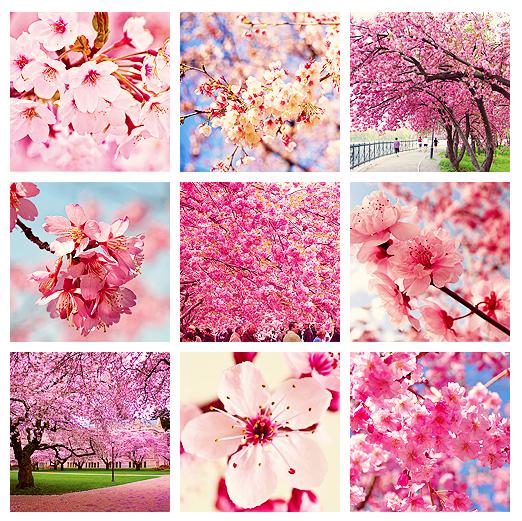 cherry blossoms in bloom pretty in pink pinterest garten pflanzen und bilder. Black Bedroom Furniture Sets. Home Design Ideas