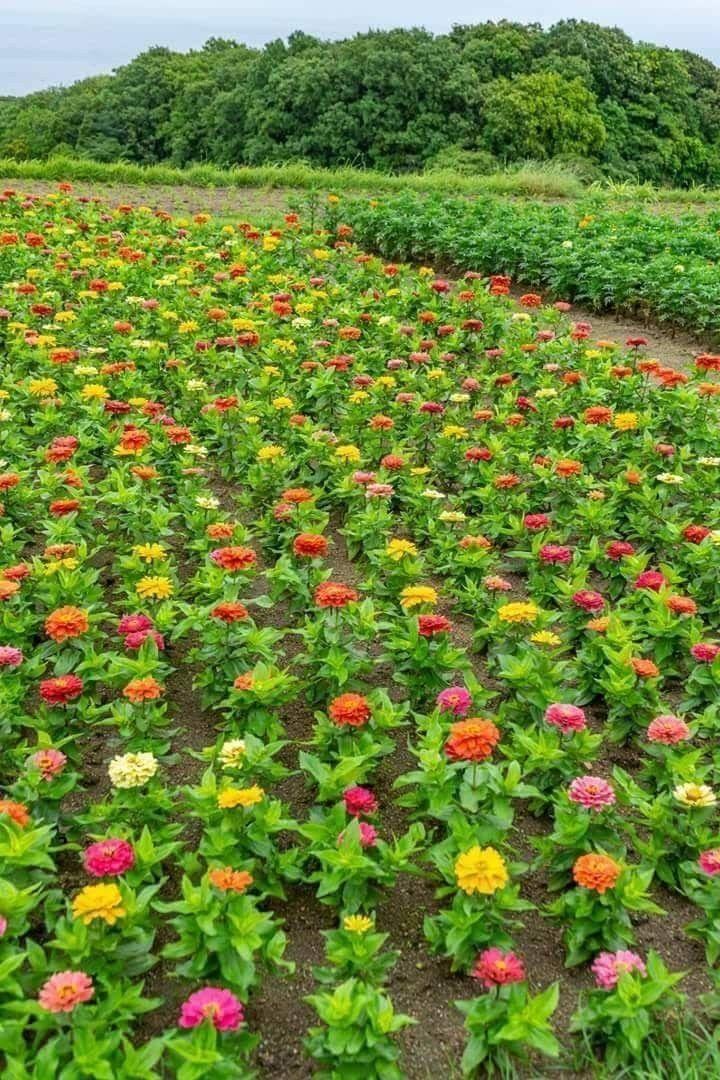 Pin by CHENG TEN FU on Garden | Pinterest | Flowers, Zinnias and Gardens