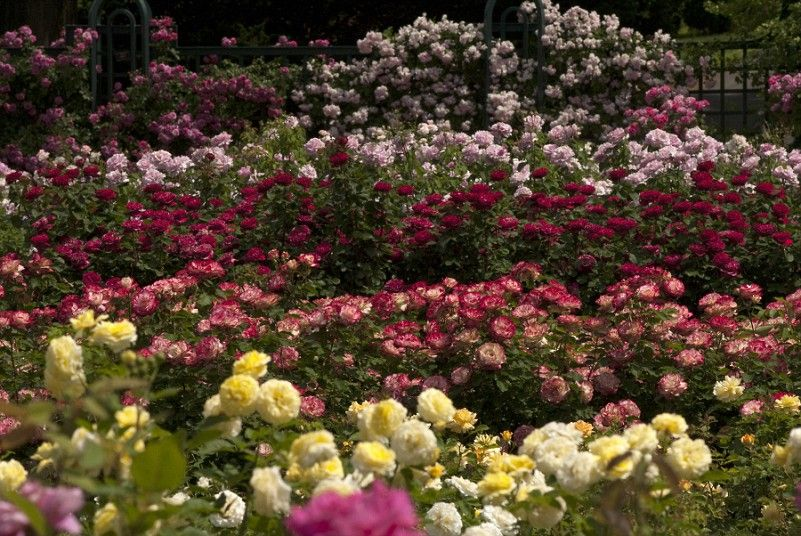 Most Beautiful Rose Gardens In The World new york heatwave causes rose garden to burst into bloom | gardens