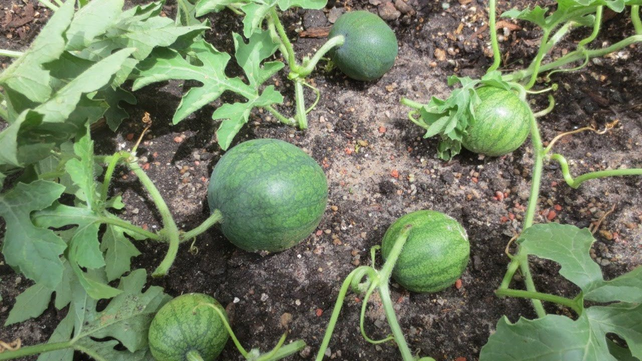 Stop Buying Watermelons Expert Gardener Shares How To Grow Them In A Container Right At Home Watermelon Plant How To Grow Watermelon Sugar Baby Watermelon