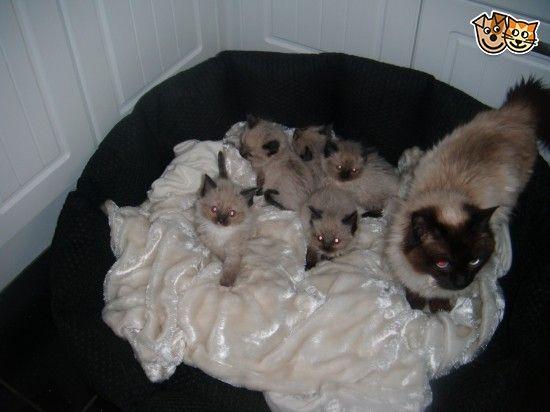 Ragdoll Kittens | Blackpool, Lancashire | Pets4Homes