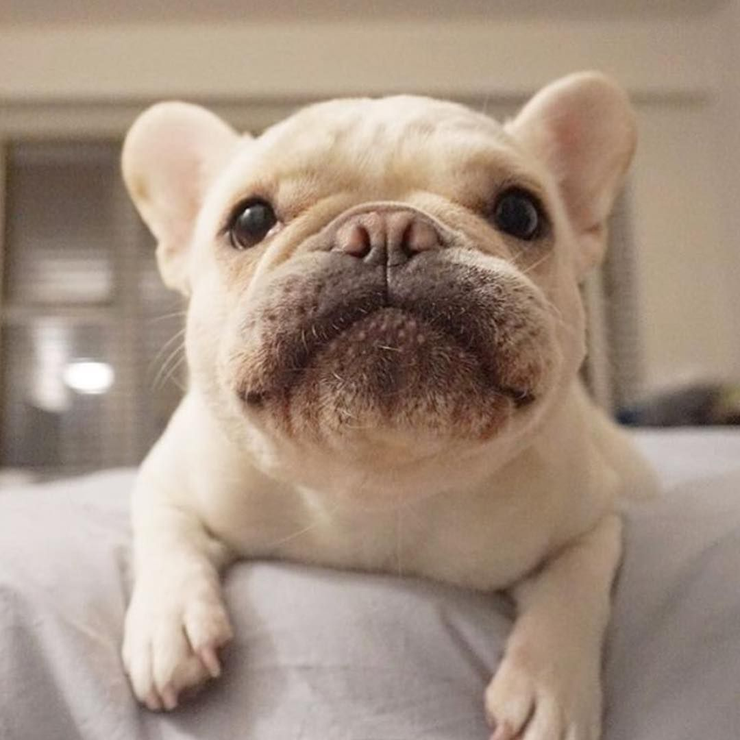 French Bulldog what a Face PUPPY LOVE Pinterest