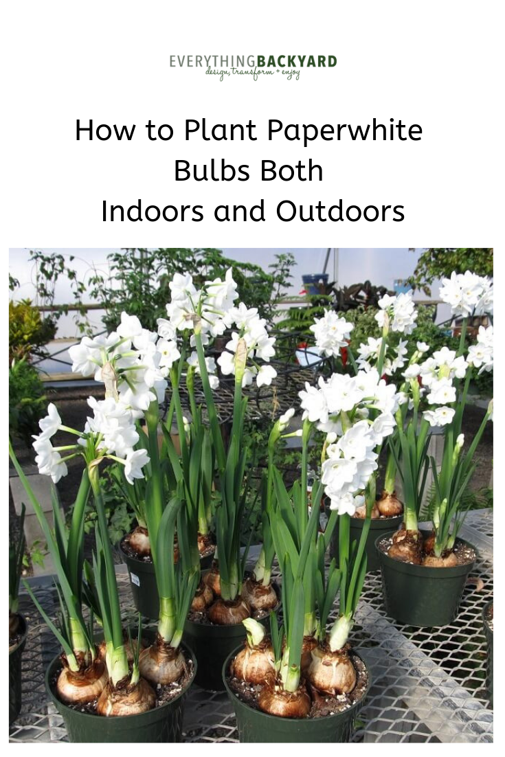 How To Plant Paperwhite Bulbs Both Indoors And Outdoors Growing Bulbs Plants Growing Bulbs Indoors