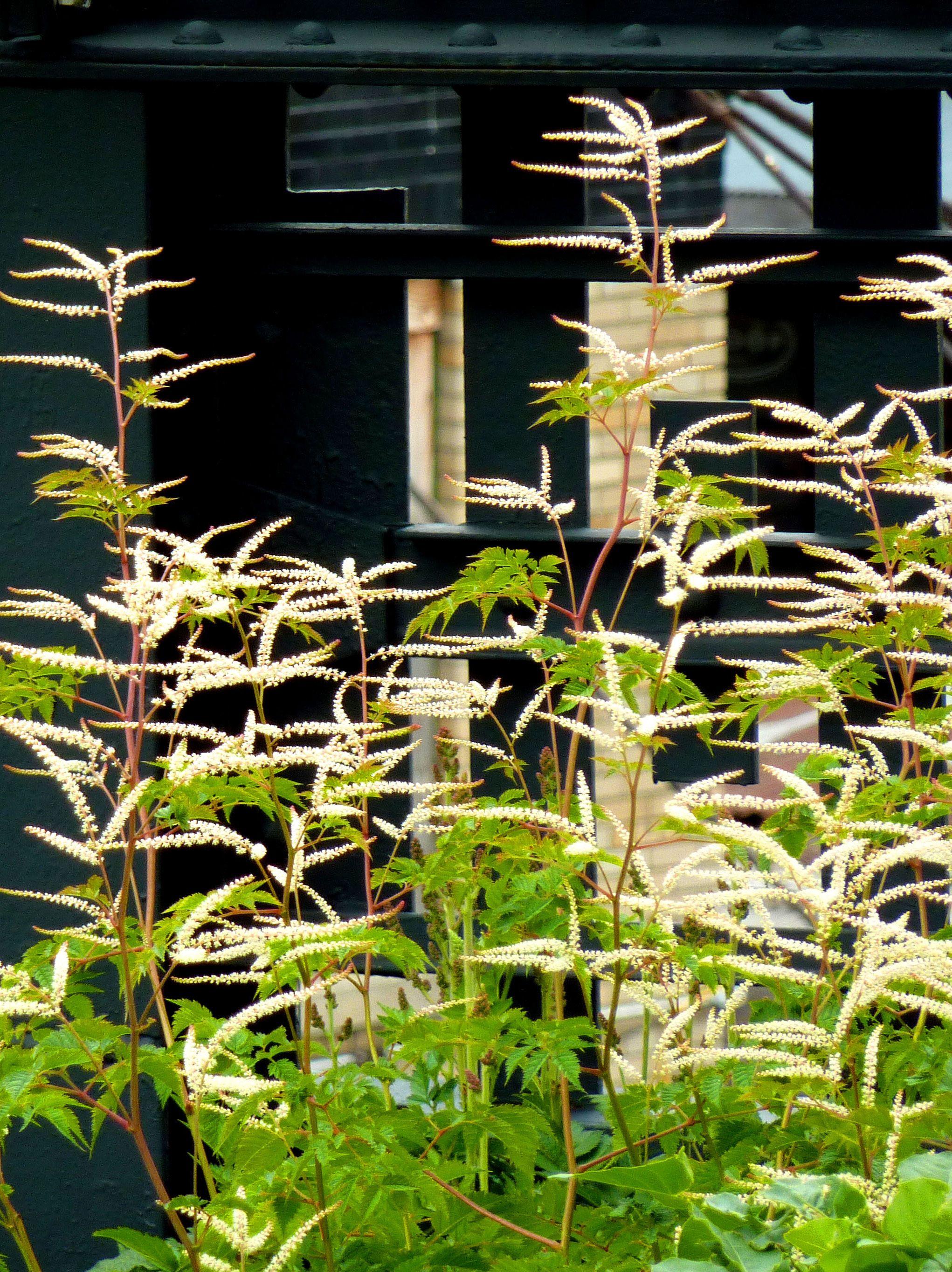 Plant Of The Week Goat S Beard The High Line Blog Plants Perennial Garden Growing Flowers
