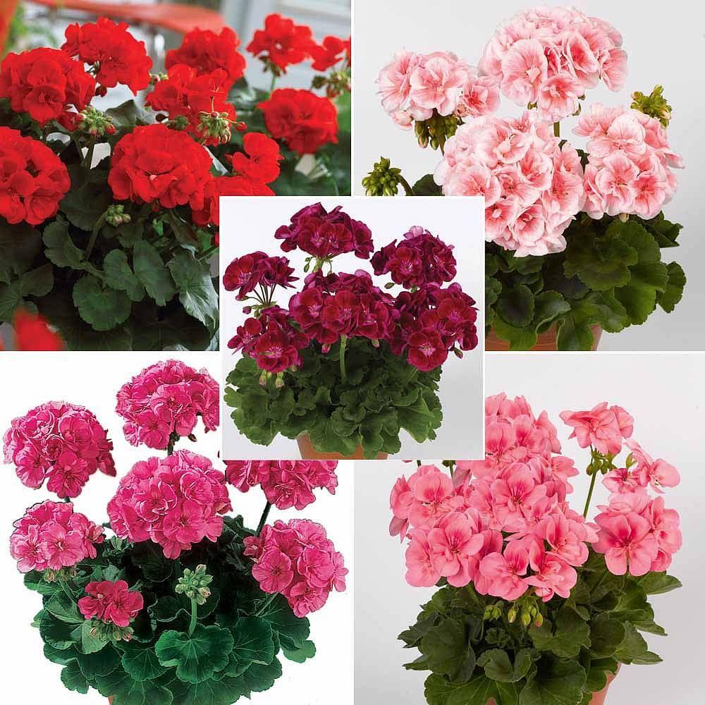 Image result for geranium Flowers perennials, Biennial