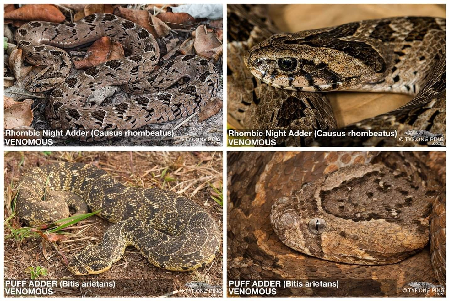 Rhombic Night Adder Versus Puff Adder The Key Difference Between