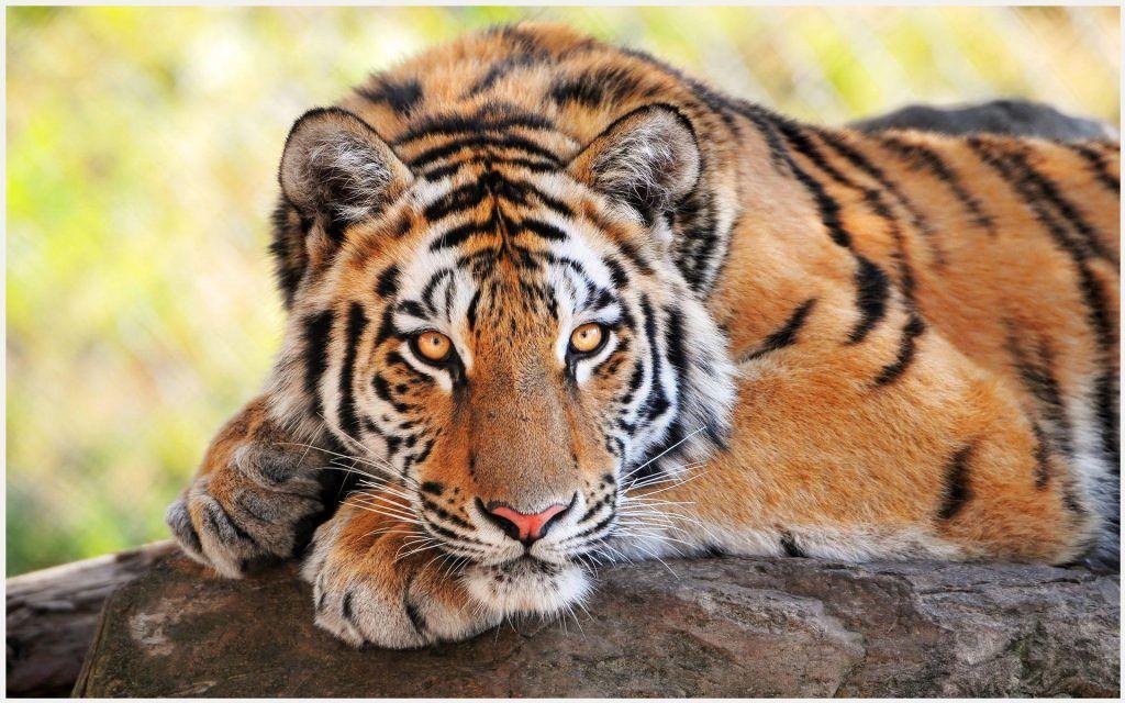 Tiger Wallpaper Hd Tiger Wallpaper Hd Tiger Wallpaper Hd 1080p