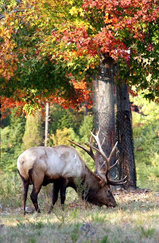 American Elk in the North Carolina Zoo's North America, Prairie exhibit.