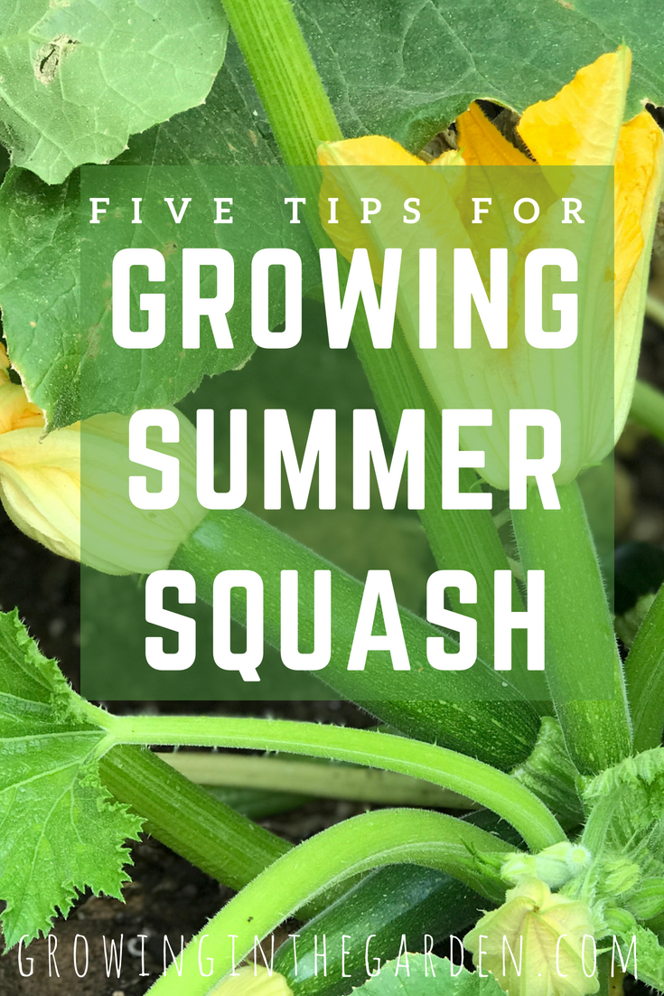 5 Tips For Growing Summer Squash Tomato Garden Starting 400 x 300
