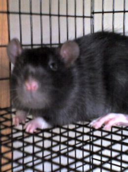 Housing Pet Rats - Rat Cage