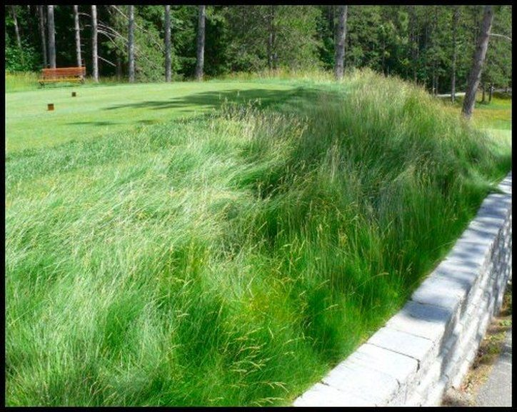 A fine fescue mix of slender creeping red fescue chewings for Ornamental grasses that stay green all year