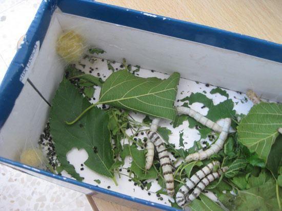 gusanos de seda caja