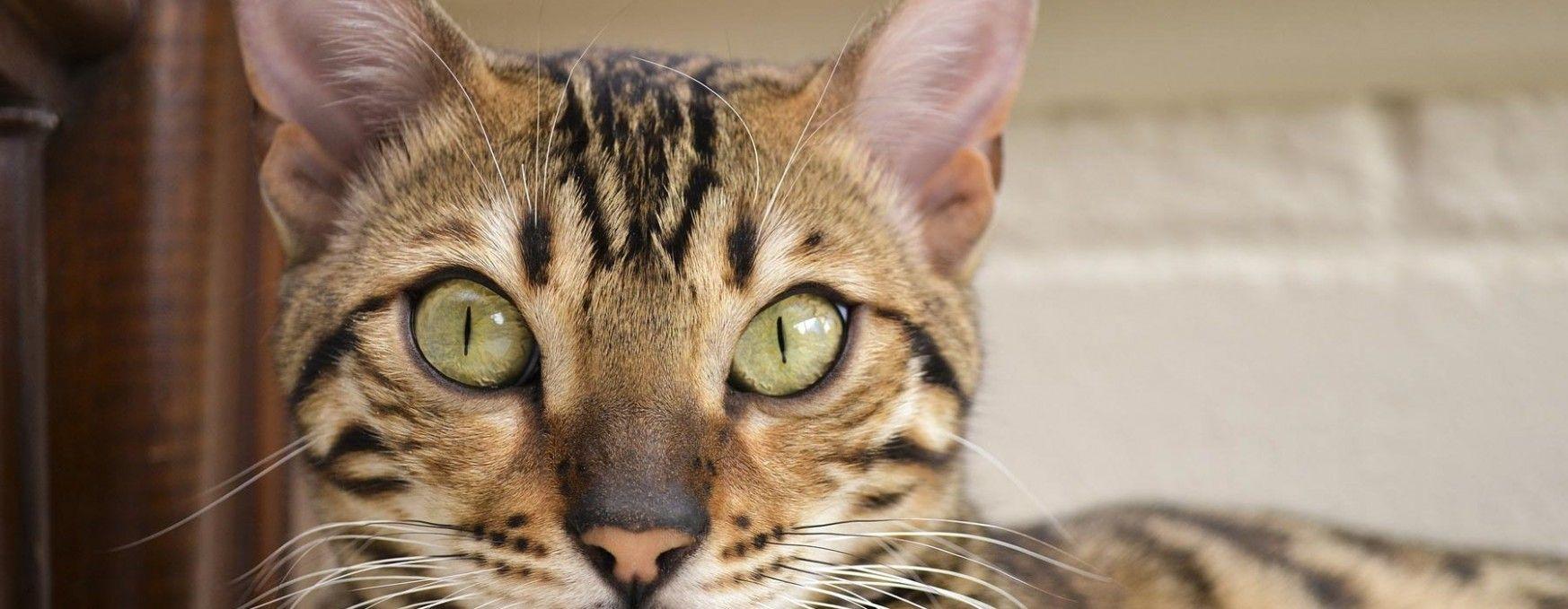 Siamese Kittens For Sale By Reputable Breeders Gatos Siameses Gato Siames Gatitos Lindos
