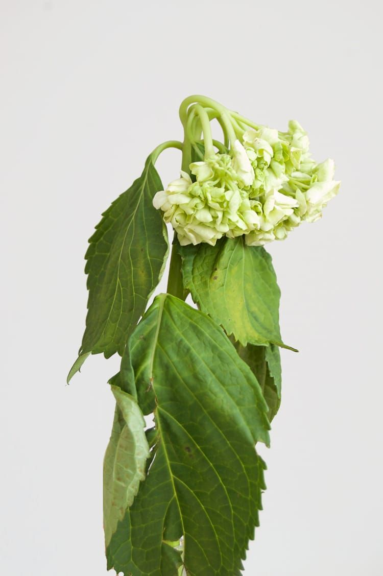 How to Revive Wilted Flowers. Wilted flowers, Hydrangea