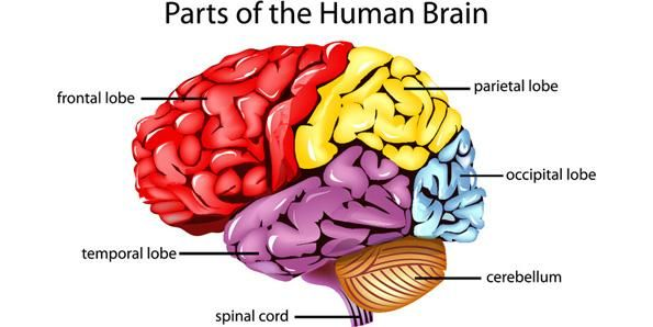 Top 10 very important organs in a human body human body this cerebellum brain parts ppt template has editable graphs and diagram slides ccuart Choice Image