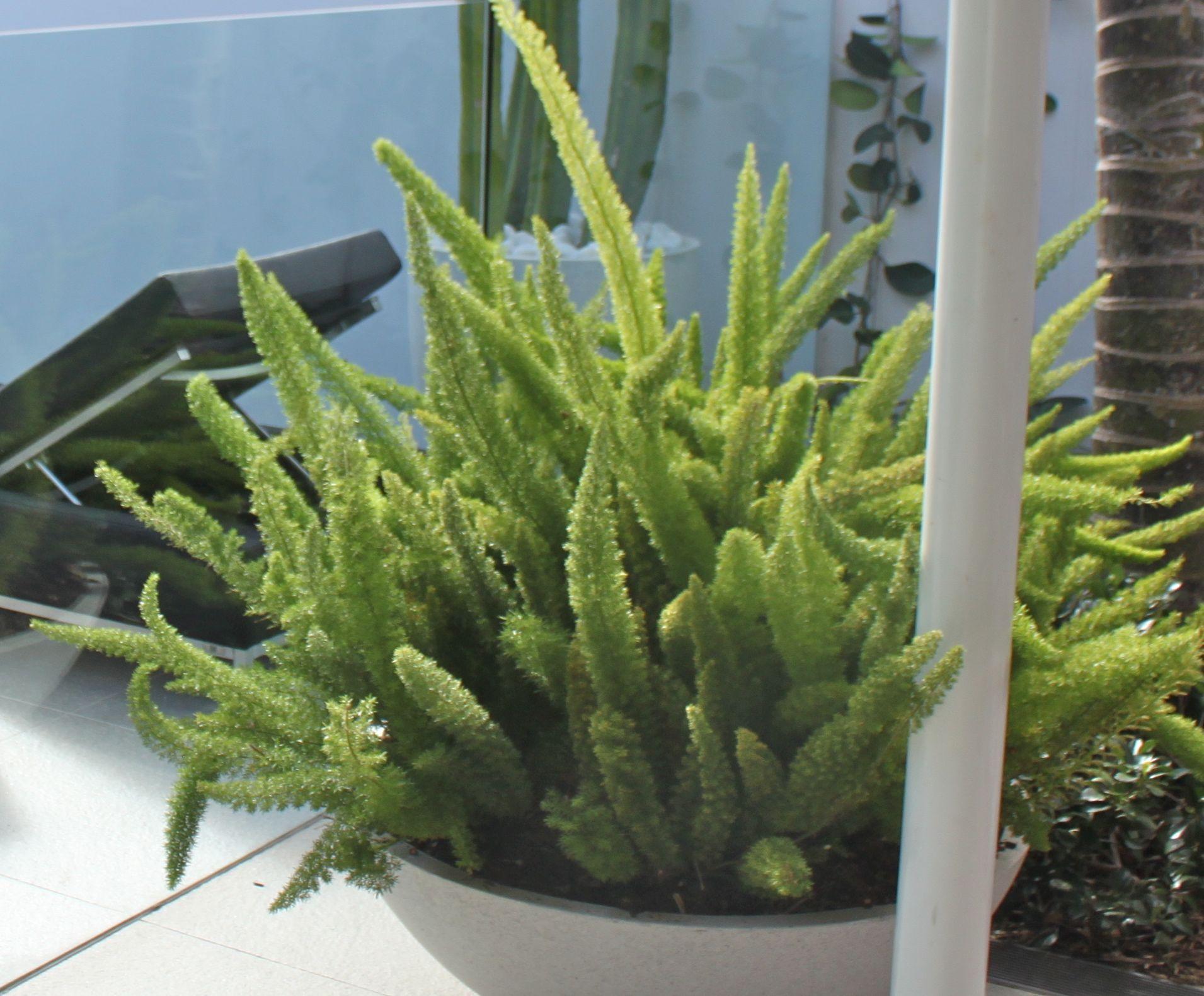Asparagus meryii sydney australia plants indoor plants