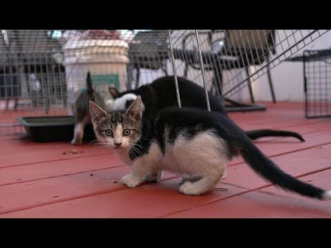 Click to meet three feisty feral kittens as they are being