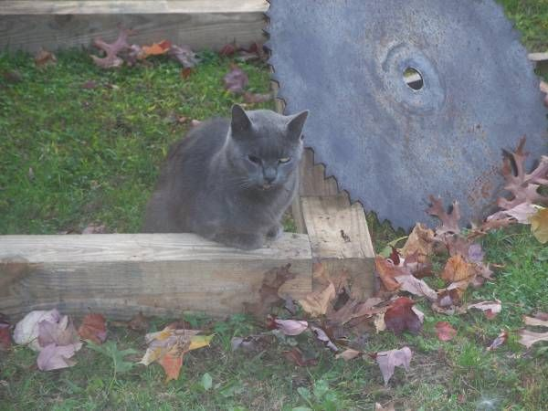 Found Gray Cat (Occum) This gray cat has been hanging out