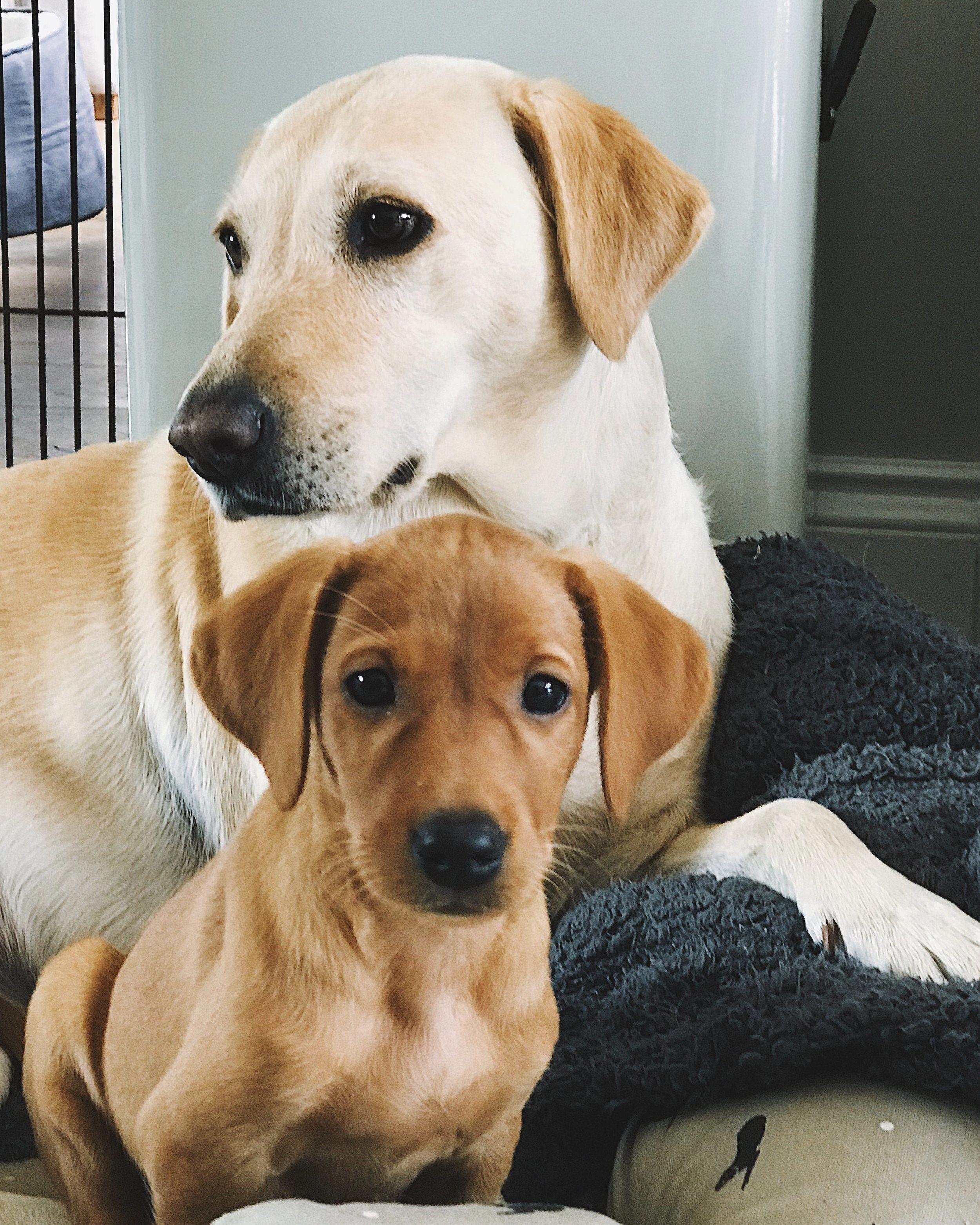 A Fox Red Labrador Puppy And A Yellow Labrador Dog Labradoryellow Labrador Fox