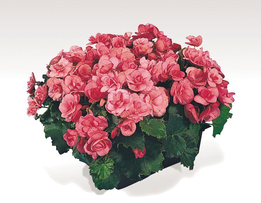 begonia elatior flower pots pinterest. Black Bedroom Furniture Sets. Home Design Ideas