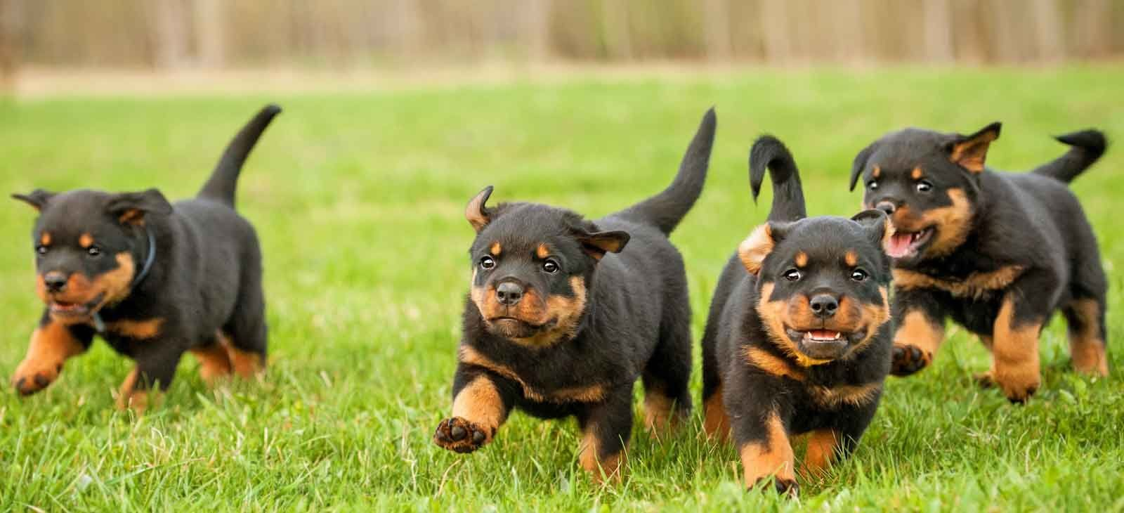 New Arrivals Greenfield Puppies Rottweiler Puppies Puppies