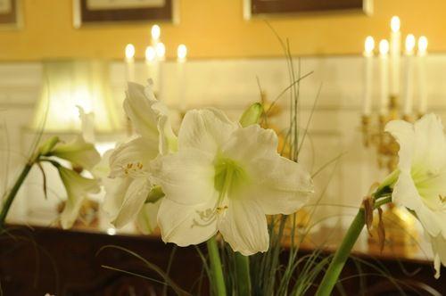 White Amaryllis