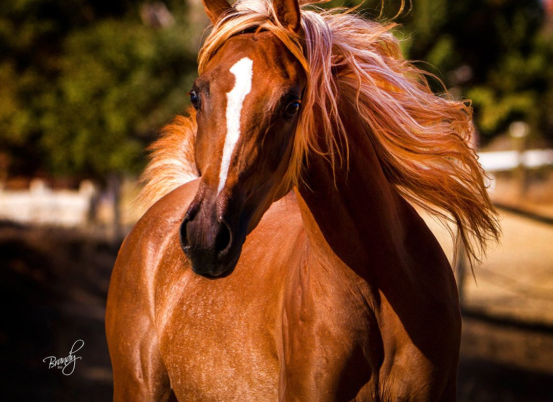 Chestnut Flaxen Beautiful Arabian Horse MareThe Sun Orchid ...