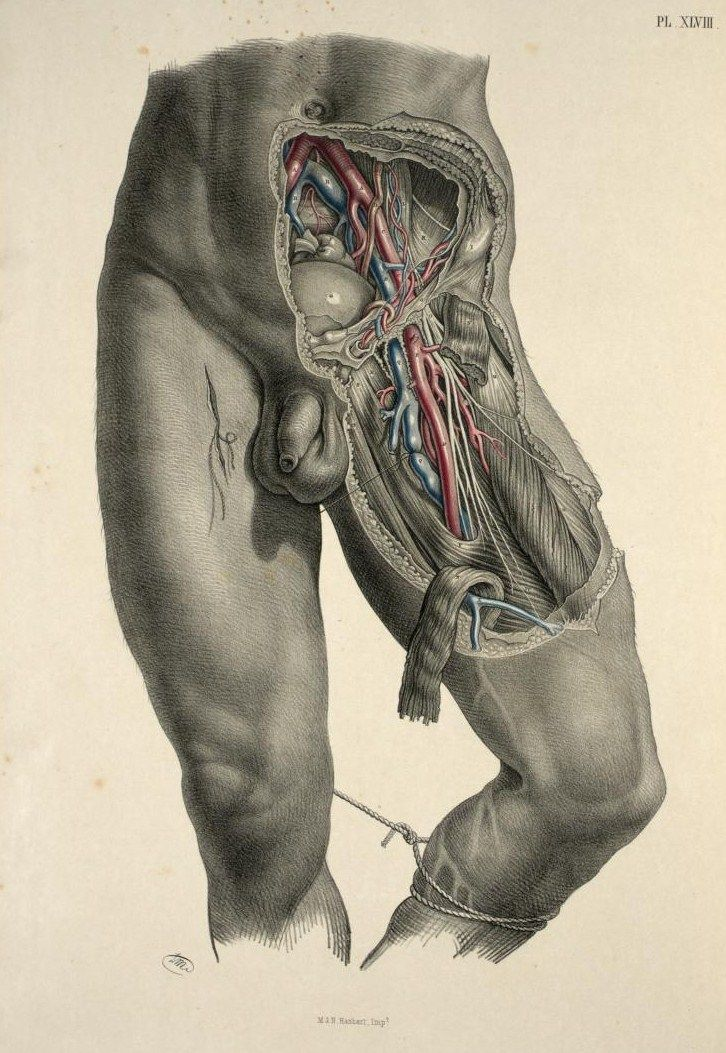 Dissection of the pelvis, groin and thigh to show the iliac and ...