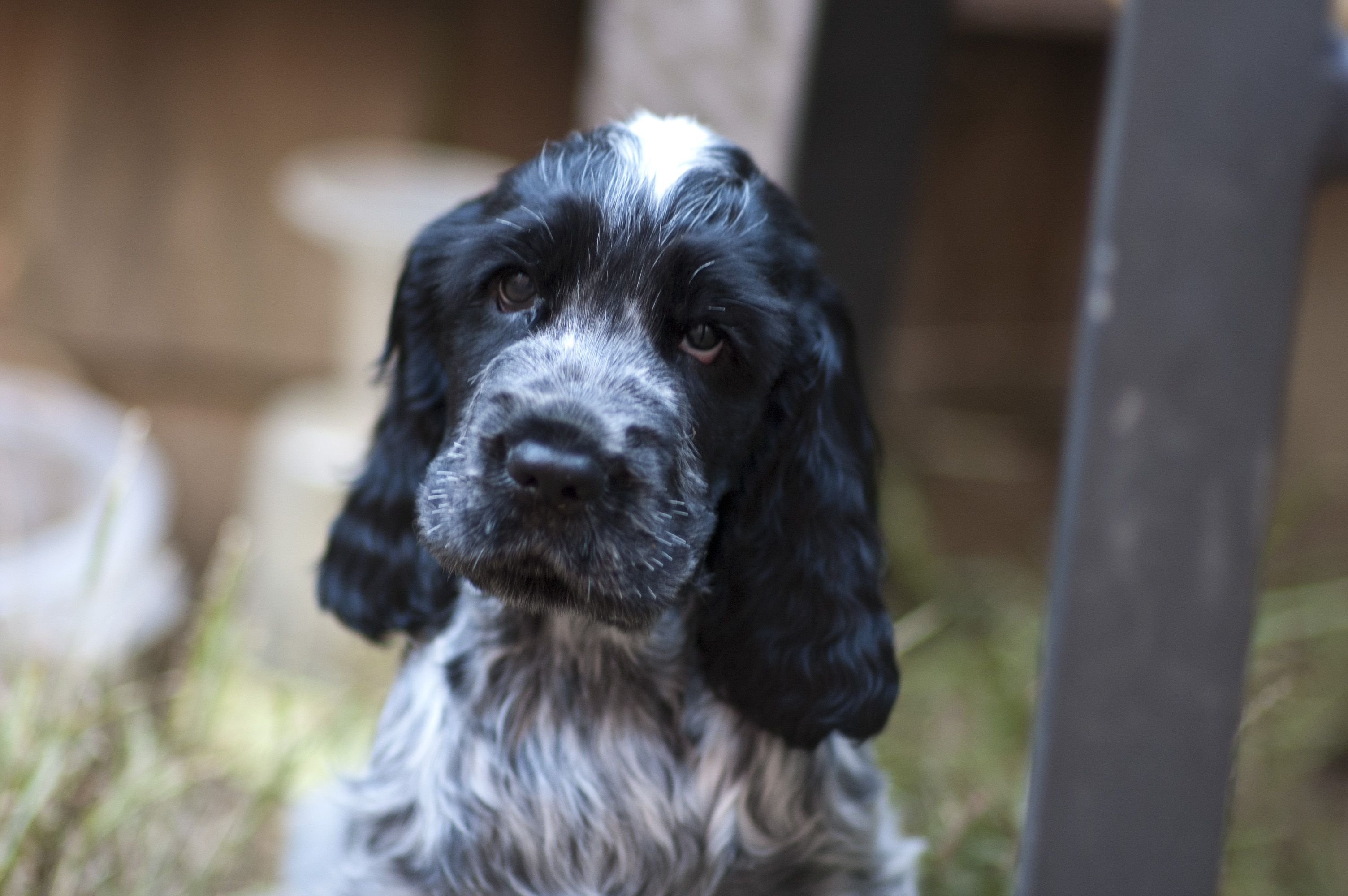 Here S Sergeant Our Blue Roan Cocker Spaniel As A Pup He S Favourite Thing In The World Is Blue Roan Cocker Spaniel English Cocker Spaniel English Cocker
