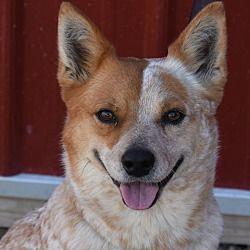 Pin by Terri on Australian Cattle Dog Rescue of Illinois