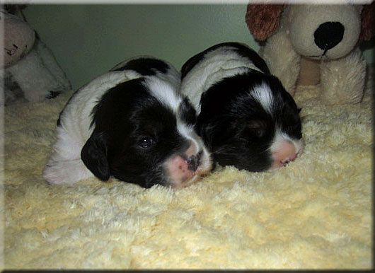 2 Week Old Cockalier Girls From Charmedonzcavaliers We Adopted The