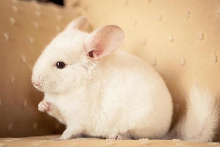 Pinky The White Baby Chinchilla Photo By Haylee Sharyn Sakimoto