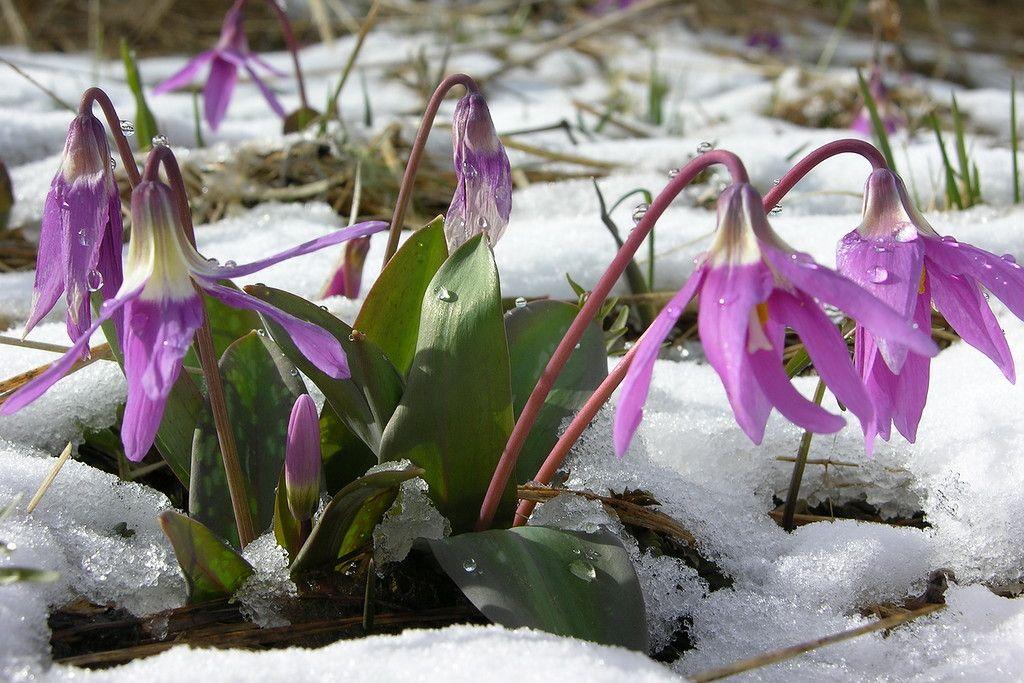 гелиопсиса картинки первоцветы сибири еврокнижки производителя