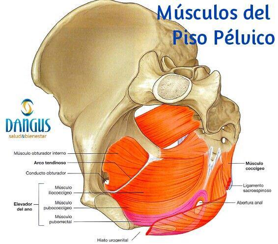 El piso pélvico es el conjunto de músculos orientados en forma de ...