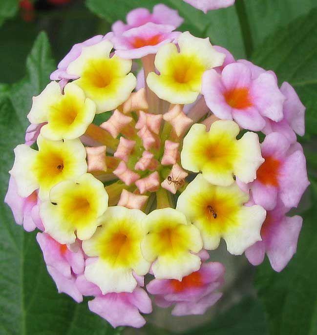 Lantana Camara Flowers Variety Of Verbena Lantana Flower Seeds Planting Flowers