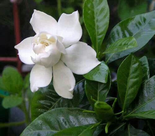 Gardenia Large Paper Flowers Trees To Plant Flower Arrangements