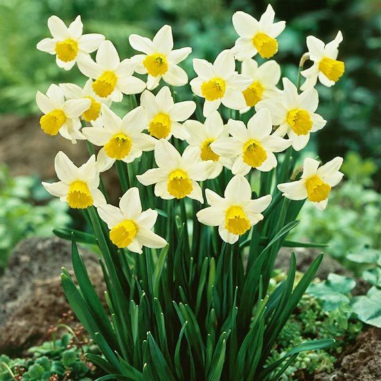 Top Daffodils Jack Snipe ~~ A classic white-and-yellow variety, 'Jack Snipe' offers fragrant blooms.    Name: Narcissus 'Jack Snipe'    Bloom Season: Mid spring    Growing Conditions: Full sun and well-drained soil    Size: To 10 inches tall    Zones:4-9    Native to North America: No    Why We Love It: It forms beautiful clumps in the