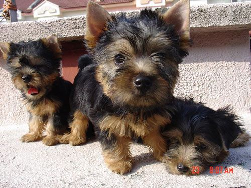 AUSTRALIAN SILKY TERRIER that's how Alfie looked as a