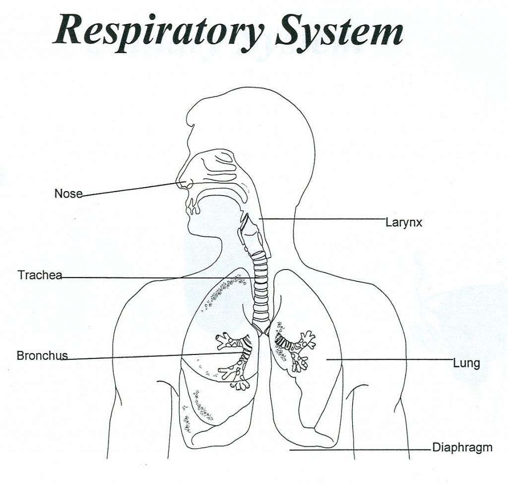 Human Diagram For Kids Human Respiratory System Diagram